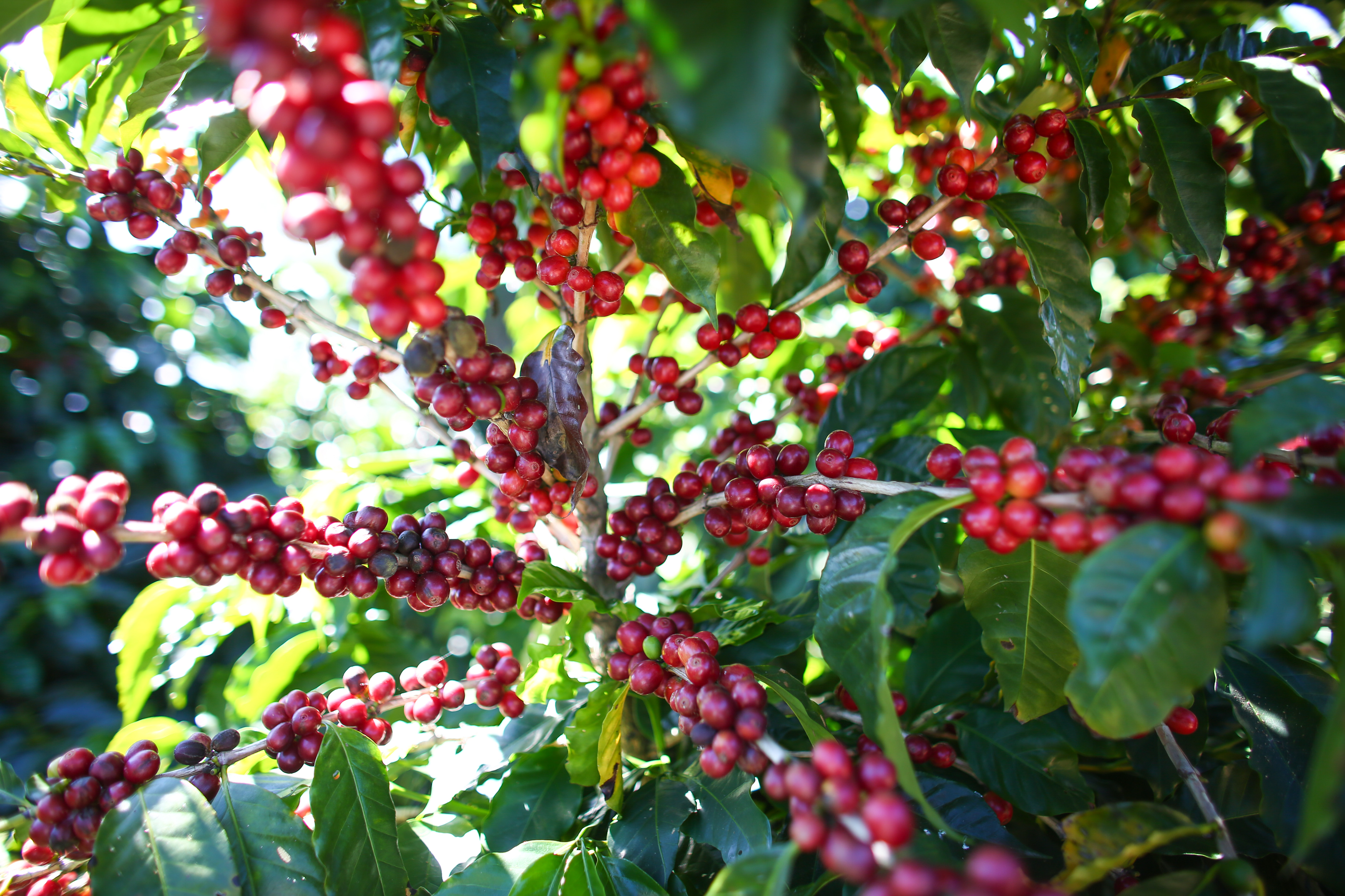 starbucks-coffee-cherries_1